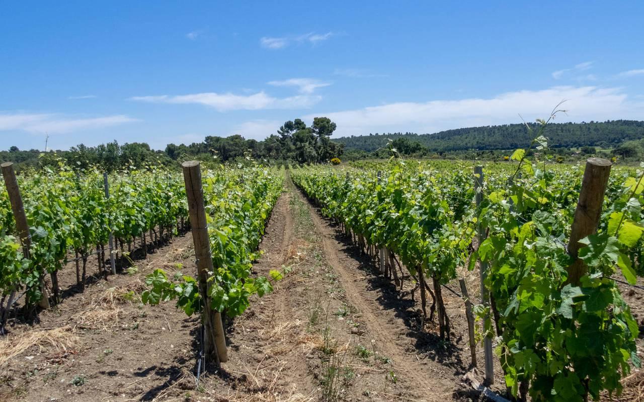 vineyard - provence vineyards
