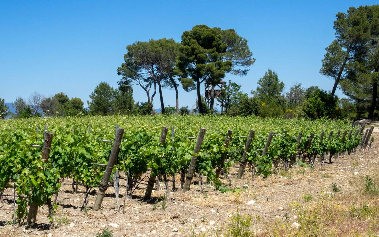 Vineyard - Provence wine tours