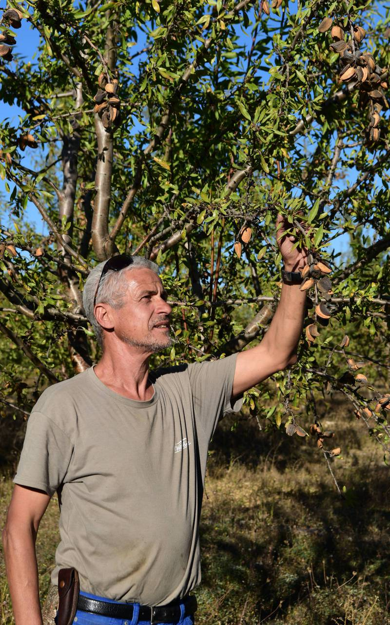 Almond - provence vineyards