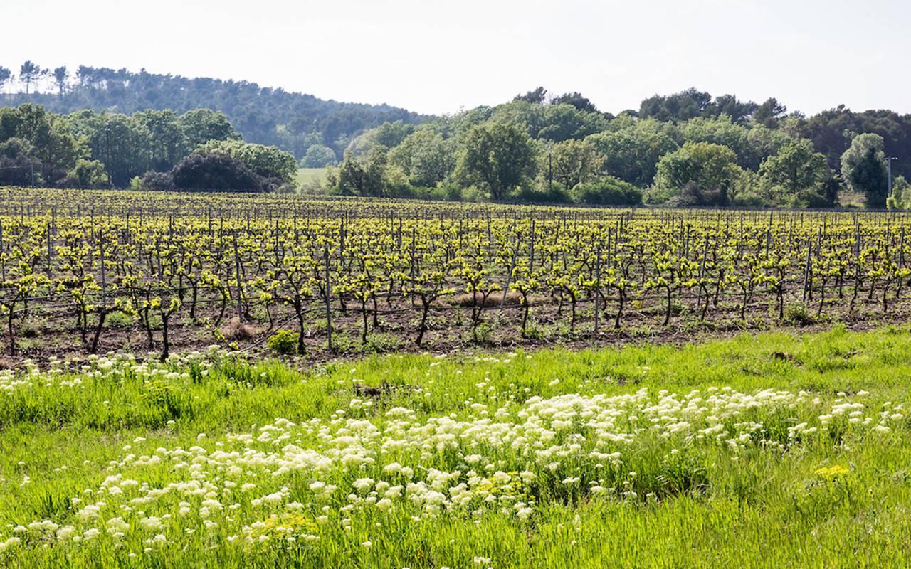 Vignoble - vignoble aix en provence