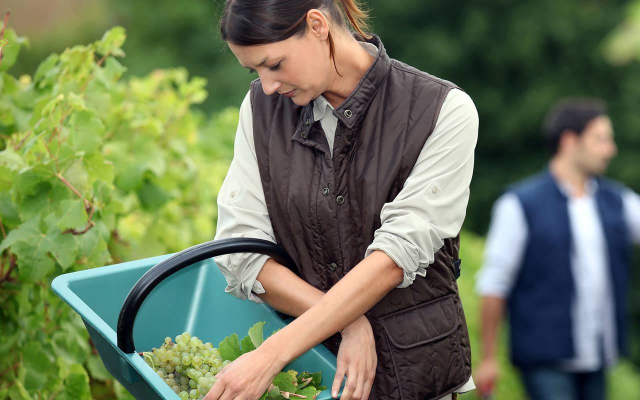 Vendanges - Vignoble aix en provence