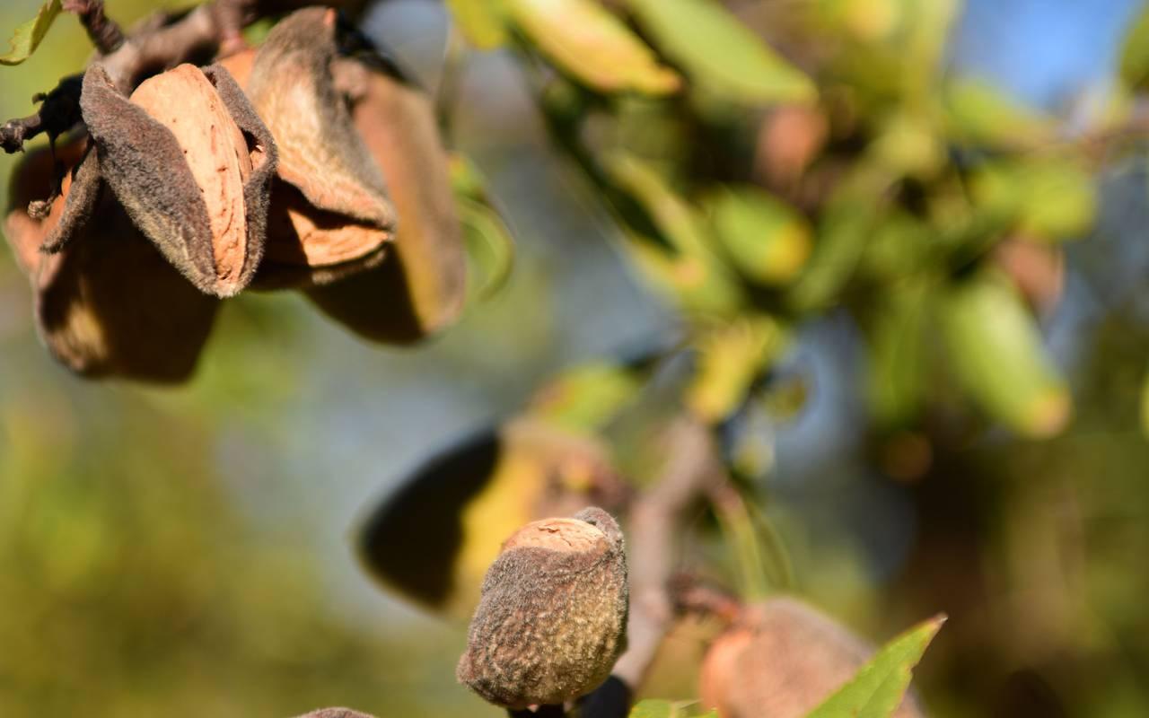 Amande - vignoble aix en provence