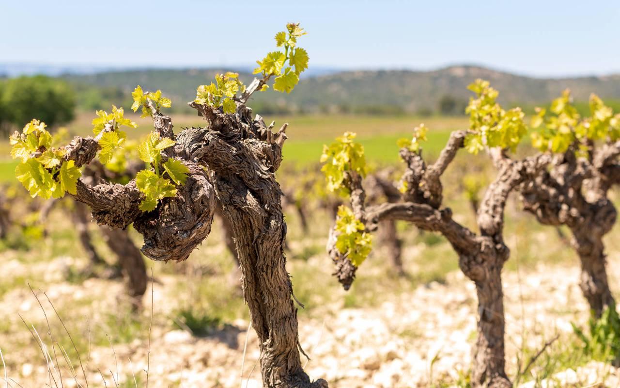 vigne - vignoble aix en provence