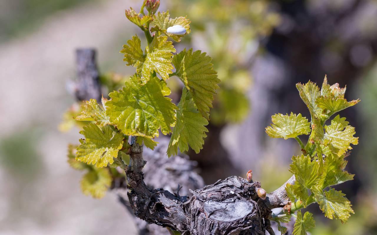 vigne - vignoble provence