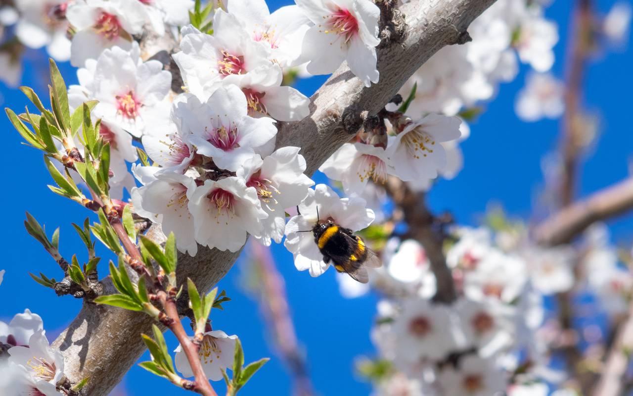 Abeille sur branche fleurie - maison d hote de charme luberon